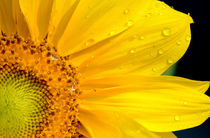 Sunflower and dew drops by Tim Seward