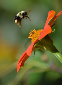 Bee and Mexican Sunflower by Tim Seward