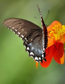 Butterfly  by Tim Seward