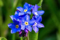 Die kräftig blauen Blüten des Wald-Vergissmeinnicht  by Ronald Nickel