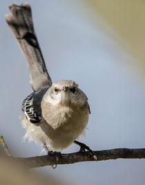 Northern mockingbird 2 by Tim Seward