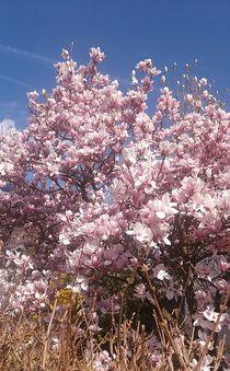Magnolienblüte... von Rena Rady