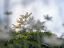 Buschwindröschen in der Frühlingssonne von kerliham-foto