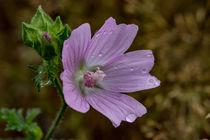 Regentropfen auf der rosa Blüte der Moschus-Malve von Ronald Nickel