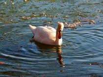 swan on ice - Abendstimmung by Zarahzeta ®