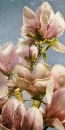 Magnolienblüte - Tulpenbaum by Chris Berger