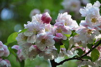 Apfelblüten by alana