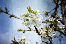 Kirschblüten von Claudia Evans