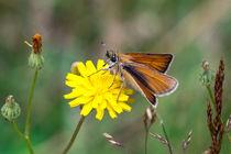 Rostfarbiger-Dickkopffalter auf gelber Wiesen-Blüte von Ronald Nickel
