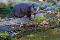 Otter auf Baum von Borg Enders