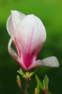 'Eine Magnolienblüte' von Bernhard Kaiser