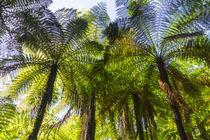 Baumfarne, Neuseeland von globusbummler