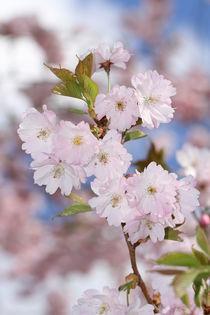 Japanischer Blütenzauber von Anja  Bagunk