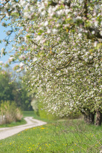 'Blühende Apfelbäume' by Stephan Gehrlein