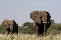 A Couple of Elephants by Francis Kiarie