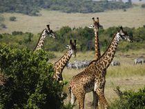 Giraffes von Francis Kiarie