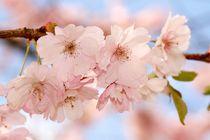 Japanische Zierkirschenträumerei von Anja  Bagunk
