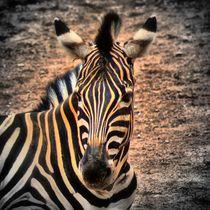 Zebra 1 von kattobello