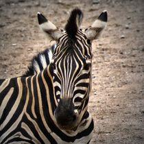 Zebra 2 von kattobello