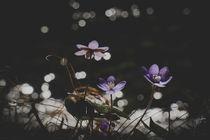Liverleaf - Leberblümchen von elio-photoart