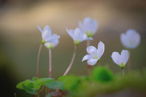 Clover Blossoms by elio-photoart
