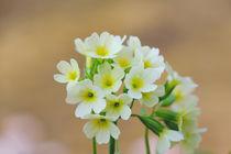 Primula by elio-photoart