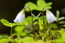 Regentropfen auf den Blüten des Waldsauerklee von Ronald Nickel