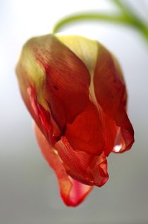 Rote Tulpe by atelier-kristen