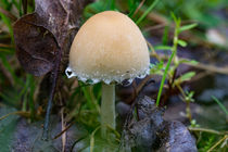 Ein Wolligfädiger-Risspilz auf dem Waldboden by Ronald Nickel