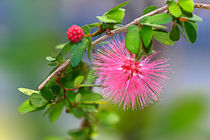 'Calliandra' by Bernhard Kaiser