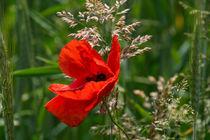 Rote Blüte des Mohn am Feld von Ronald Nickel