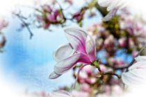 Magnolien  -  Traum von Claudia Evans