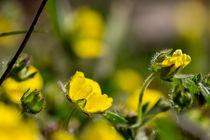 Die Blüte des Frühlings-Fingerkrauts by Ronald Nickel