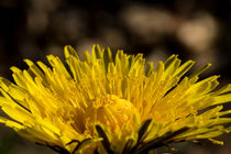 Die gelbe Blüte des Löwenzahn von Ronald Nickel