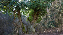 Efeu rankt an einem Baum by Ronald Nickel