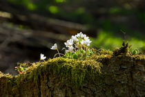 Kleine Blüten auf einem alter Baumstumpf by Ronald Nickel