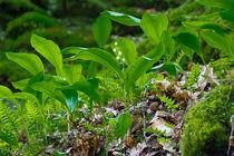 Maiglöckchen blühen im Wald von Ronald Nickel