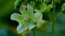 Die unscheinbare Blüte der Zaunrübe by Ronald Nickel