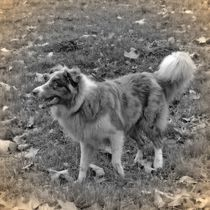Nostalgie Australian Shepherd von kattobello