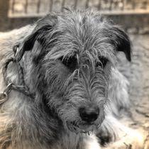 Nostalgie Irischer Wolfshund von kattobello