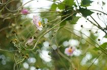Herbstanemone by H. Ullrich