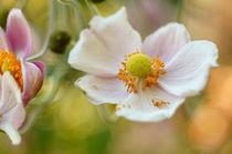 Blüte Herbstanemone  by H. Ullrich