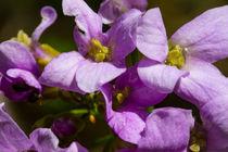 Die Blüten der Zwiebel-Zahnwurz von Ronald Nickel
