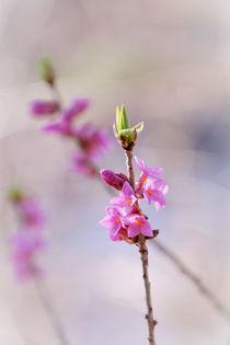 Seidelbast - Daphne von elio-photoart