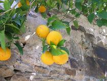 Orangenbaum an einer Mauer von Heike Rau