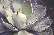 Succulent Raindrops by Karen Black