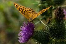 Ein Kaisermantel Weibchen auf einer Distel by Ronald Nickel