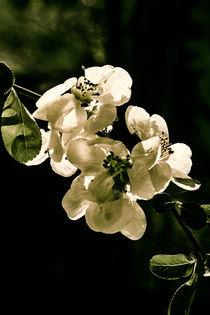 Quince flowers in the dark von Chris Berger