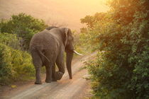 African Elephant in the sunset von Bastian Linder
