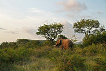 African elephant in green nature von Bastian Linder